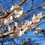 ヴァイオリン教室のすぐそばの桜並木道