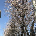 ヴァイオリン教室近くの桜が