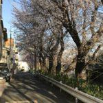 教室近くの桜並木