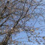 ヴァイオリン教室近くの桜