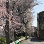 ヴァイオリン教室近くの桜並木